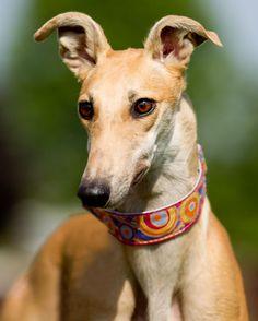 Oregon Greyhound Adoption » Terri Jacobson Photography