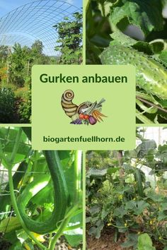 Der Anbau von Gurken #garten #gurken anbauen #selbstversorger
