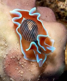 Bulbous hydatina. A sea slug with a small shell