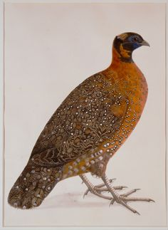 Crimson Horned Pheasant,- watercolour,- india, 1775-1800