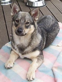 Dogz Online - The Pure Breed Dogs of New Zealand Fluffy Puppies, Dogs And Puppies, Doggies, Wolf Corgi, Husky Faces, Norwegian Elkhound, Real Dog, Snow Dogs, Working Dogs