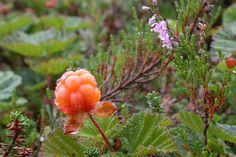 Cloudberries like the same soil as heather.