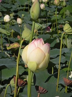 Lotus Water Lillies