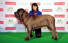 KINGLOUIE, Neapolitan Mastiff