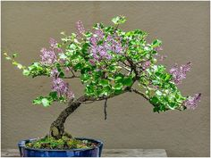 Image result for lilac bonsai