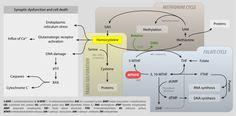 Homocysteine - Wikipedia, the free encyclopedia