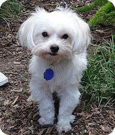 Santa Monica, CA - Maltese Mix. Meet Ewok, a dog for adoption. http://www.adoptapet.com/pet/11555826-santa-monica-california-maltese-mix