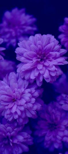 Purple mums...