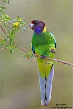 Australian Ringneck - Barnardius zonarius, are found in pairs or small flocks over lightly timbered areas, open woodlands, and tree-lined wa...