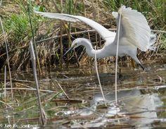 Snowy Egret in Utah bird Photography at Bear River Migratory