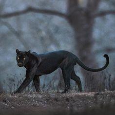 Black Panther Cat, Jaguar Panther, Panther Leopard, Animal Spirit Guides, Spirit Animal, Animals Beautiful, Cute Animals, Black Jaguar, Here Kitty Kitty