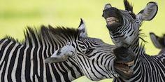 Be joyful, laugh out loud. Wear Black & white like the zebra. http://haveheartdaily.com