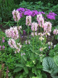 Wood Betony (Stachys officinalis) - Rotary Botanical Gardens