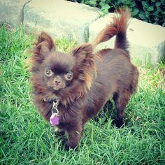 Allie, Chi Chi, Chihuahuas, Pet Birds, Doggies, Babies, Board, Sweet, Beautiful