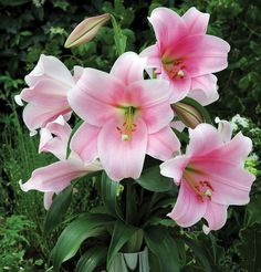 Lilium | Photo of the bloom of Lily ( Lilium 'Bellsong')