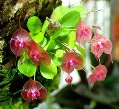lepanthes tsubotae - my site Orchid Plants, Exotic Plants, Exotic Flowers, Cactus Plants, Planting Succulents, Planting Flowers, Orchids Online, Mini Orquideas, Miniature Orchids