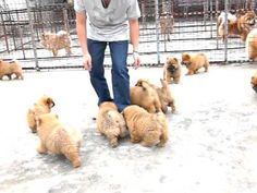 If you need cheering up today like I did, watch these little butterballs :) Chow chow puppies
