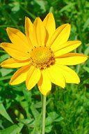 IonXchange.com - HELIOPSIS HELIANTHOIDES | Ox eye Sunflower, $1.25 (http://ionxchange.com/products/HELIOPSIS-HELIANTHOIDES-|-Ox-eye-Sunflower.html)