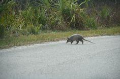 Armadillo on Honeymoon Island, Florida