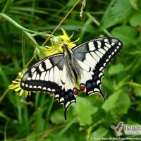 Swallowtail by Gerard Gorman Central And Eastern Europe, Bird Watching, Butterflies, Tours, Vacation, Adventure, Gallery, Painting, Vacations