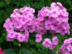 Phlox - care in spring, summer and winter for this perennial or annual flower Wilted Flowers, Phlox Flowers, Flowers Perennials, Planting Flowers, Garden Soil, Garden Boxes, Gardening, Phlox Perennial, Leaf Mulch