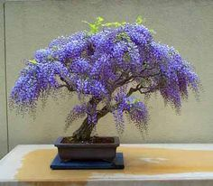 Wisteria bonsai Need to try this it is growing everywhere.