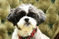 To Love Again: A Shih Tzu Story
