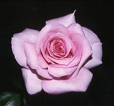 Grace de Monaco rose