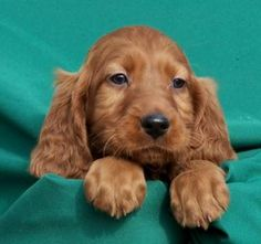 pinterest irish setters | irish setter puppy | Animals