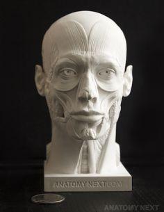 Anatomy Next store - MALE ECORCHE HEAD 3D PRINT model