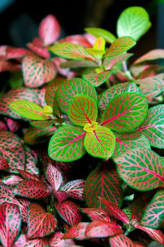 Adding tropical colors: Fittonia (Nerve plant) #houseplant