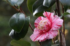 """Camellia jap. """"Candy Mint"""""""