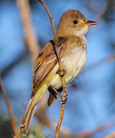 Willow Flycatcher by Greg Homel