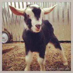Our new little Alpine / Nubian goat kid!