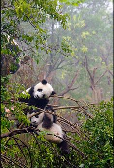 Asia is the largest and the most populous continent of the world. Pandas in Chengdu, China