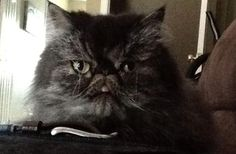 Lost Cat - Persian - London, Ontario, Canada N5V 4A5
