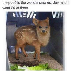 The pudú is the world's smallest deer and I want 20 of them Cute Baby Animals Cute Little Animals, Cute Funny Animals, Funny Cute, Top Funny, Funny Pics, Cute Puppies, Cute Dogs, Cute Babies, Animal Jokes
