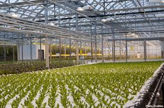Hydroponic Lettuces - Lufa Farms Rooftop Greenhouse, Montreal