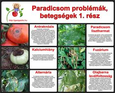 Paradicsom betegségek, problémák - gazigazito.hu Pest Control, Organic Gardening, Container Gardening, Garden Landscaping, Herbs, Landscape, Fruit, Vegetables, Green