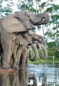Knysna Elephant Park, South Africa.
