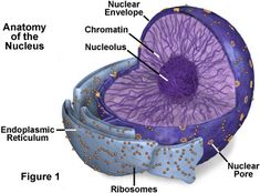 The nucleus is the cell's control center- that is, it contains the genetic information to do and make everything that goes on within a cell. The nucleus is surrounded by a nuclear envelope, which is. Nuclear Membrane, Cell Membrane, Study Biology, Cell Biology, Cell Structure, Structure And Function, Animal Cell, Systems Biology, Plant Cell