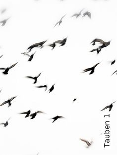 Bild: Tapeten - Tauben 1