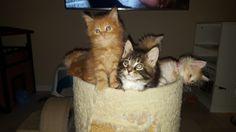 Maine Coon kittens Maicono