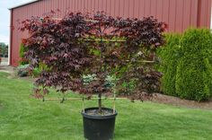 Espalier Japanese maple... This is possible to do with apple trees, too!