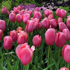 Tulipànból sosem elèg #tulips #garden #flowers #tulipan #pinktulips #instaflower #mik #netherlands #hollandroden #pink by ritakormany
