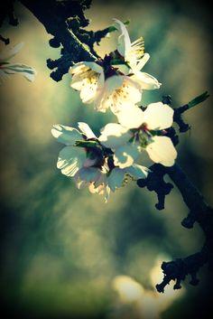 Almond Blossom2
