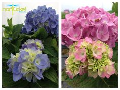 Nantucket Blue™ Hydrangea features large, round flower clusters that last until frost. Blooms can be a brilliant blue or pink! Sweeten the soil with lime for pink blooms; acidify the soil to intensify the blue.