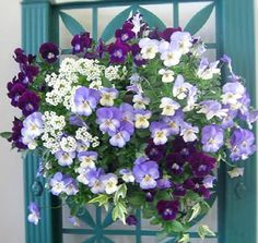 Pansies & alyssum hanging basket:
