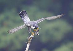 Peregrine Falcon by Lim yangmook on 500px