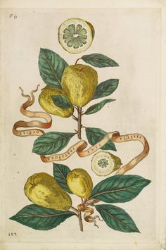 Giovanni Battista Ferrari : limon